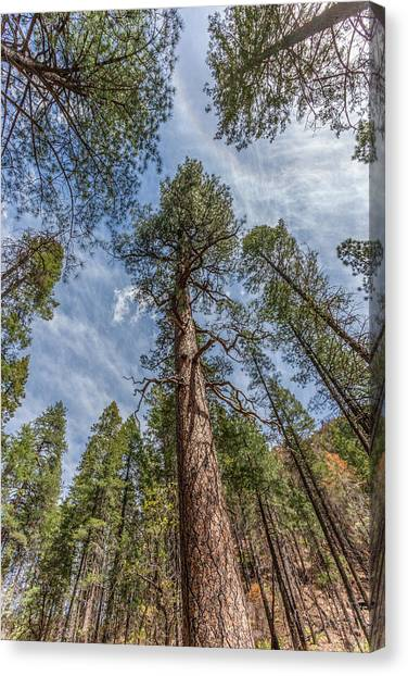 Pine Cathedral On The West Fork Canvas Print