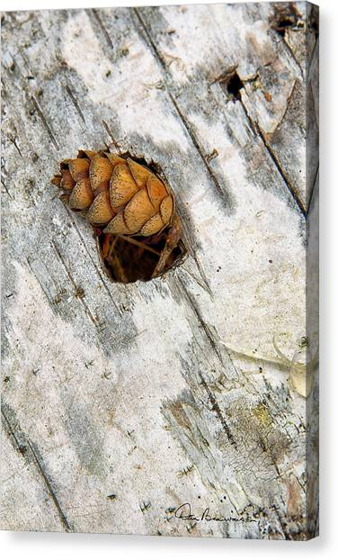 Pine Cone On Birch Bark 8021 Canvas Print