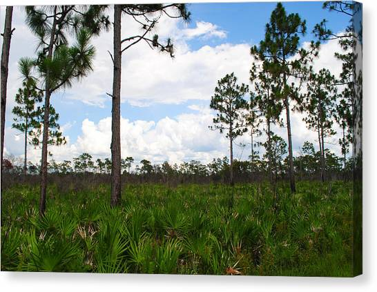 Pine Flatwoods Canvas Print by Steven Scott