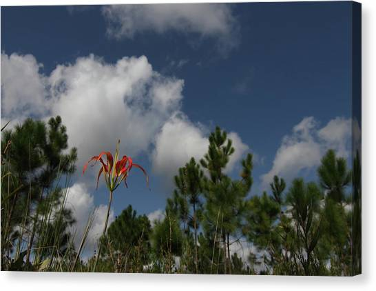 Pine Lily And Pines Canvas Print