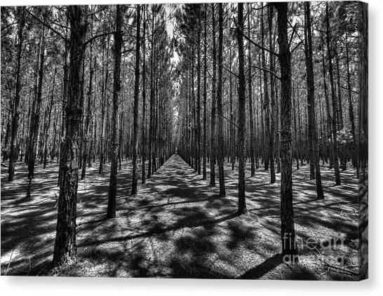 Pine Plantation Wide Canvas Print
