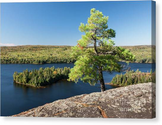 Algonquin Park Canvas Print - Pine Tree With A View by Elena Elisseeva