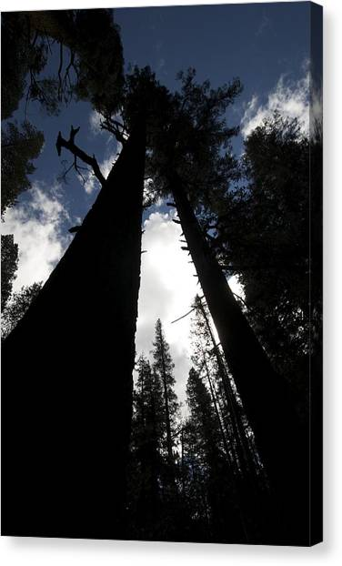 Pines Canvas Print by Chris Brewington Photography LLC