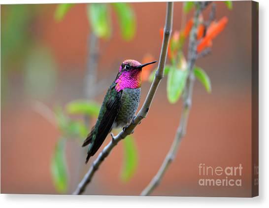 Pink And Gold Anna's Hummingbird Canvas Print