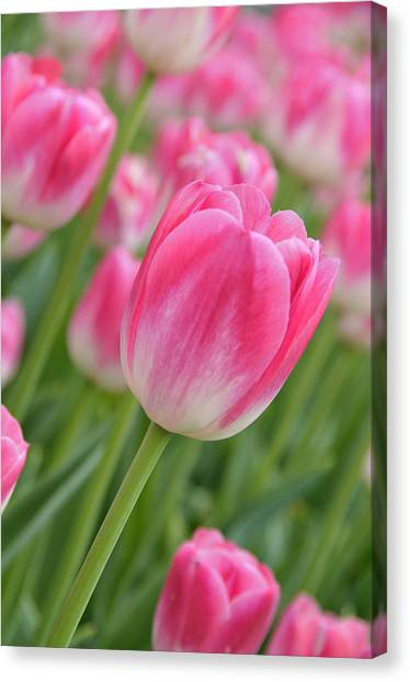 Pink And Green Canvas Print by Lyle  Huisken