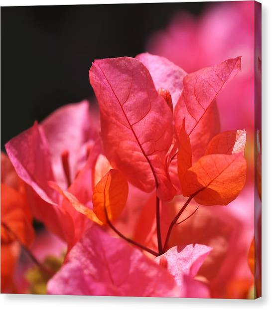 Bright Canvas Print - Pink And Orange Bougainvillea by Rona Black