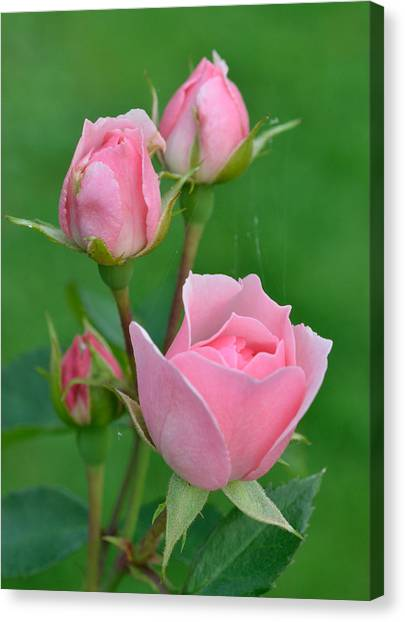 Pink And The Buds Canvas Print