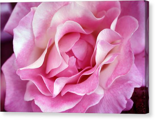 Canvas Print - Pink And White Rose by Evelyn Patrick