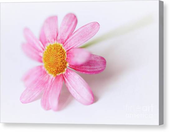 Canvas Print featuring the photograph Pink Aster Flower II by Nick Biemans