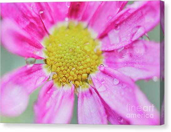 Canvas Print featuring the photograph Pink Aster Flower With Raindrops by Nick Biemans