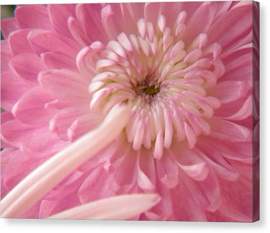 Pink Astra Canvas Print by Alyona Firth
