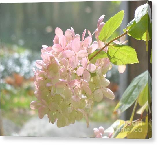 Pink Bloom In Sun Canvas Print