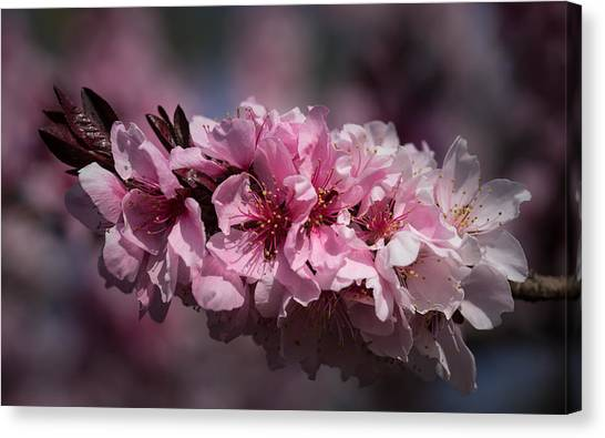 Cherry Blossoms Canvas Print by Denise McKay