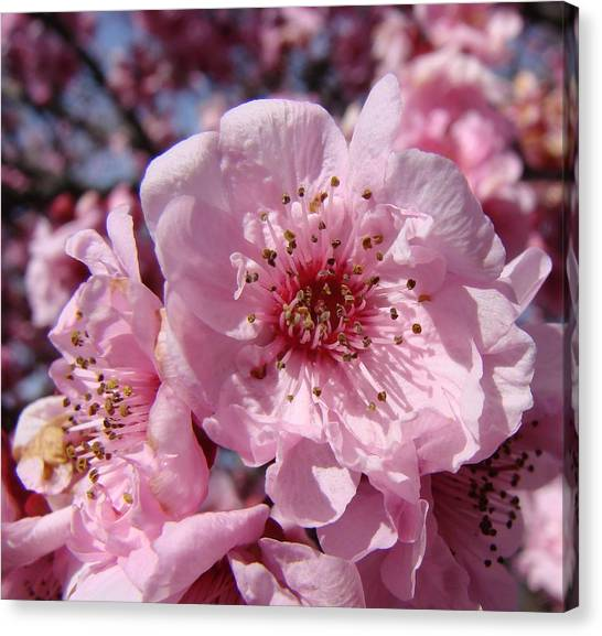 Pink Blossoms Canvas Print by Liz Vernand