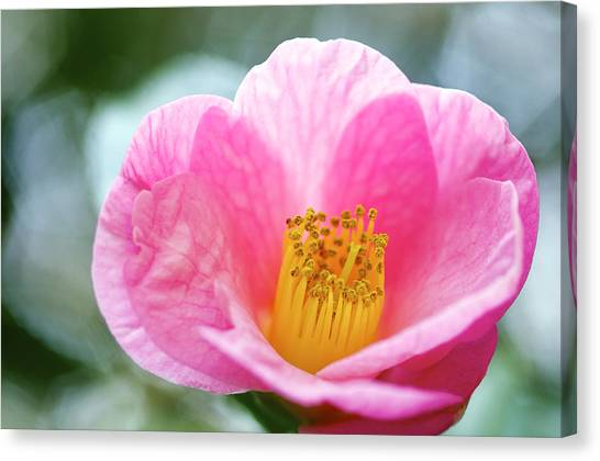 Pink Camelia Canvas Print by Gerry Walden