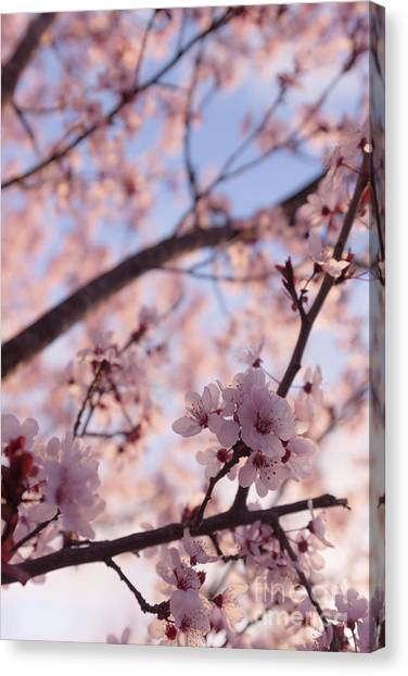Orchard Canvas Print - Pink Cherry Blossoms by Ana V Ramirez