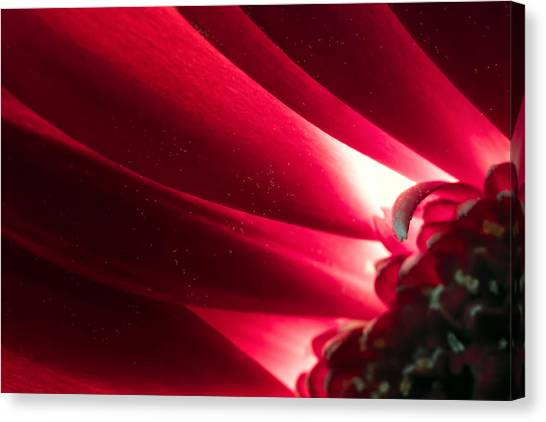 Pink Chrysanthemum Flower Petals  In Macro Canvas Close-up Canvas Print