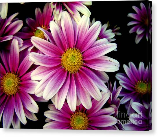 Pink Chrysanthemums Canvas Print