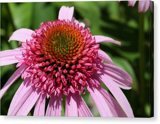 Pink Coneflower Close-up Canvas Print