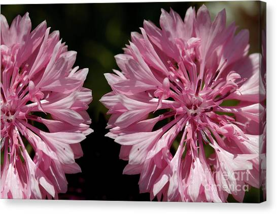 Pink Cornflowers Canvas Print
