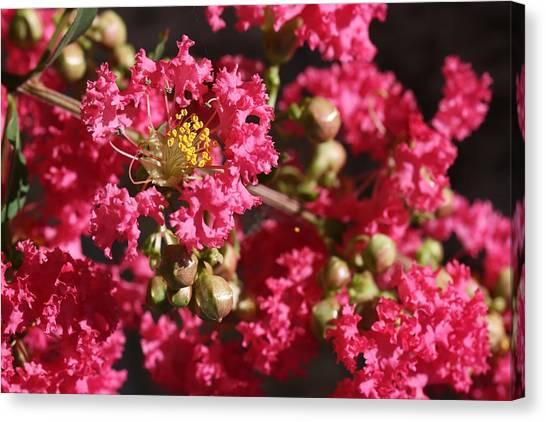 Pink Crepe Myrtle Flowers Canvas Print