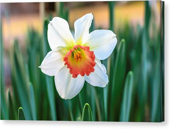 Pink Cup Solo Daffodil Canvas Print