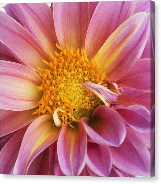Pink Dahlia Canvas Print by Tony Ramos