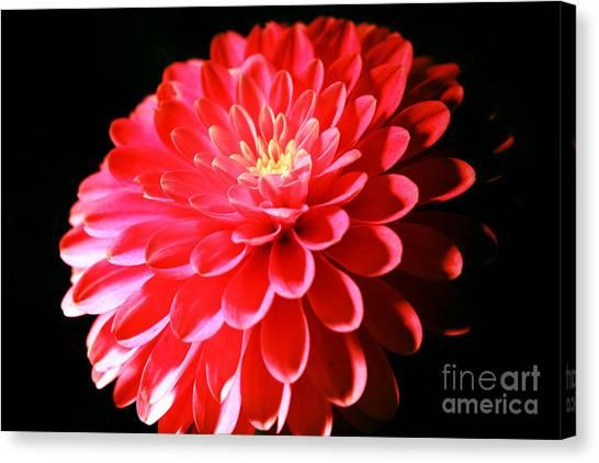 Pink Dahlia1 Canvas Print
