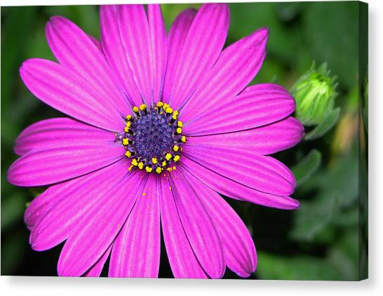 Pink Daisy Canvas Print by Dori Peers