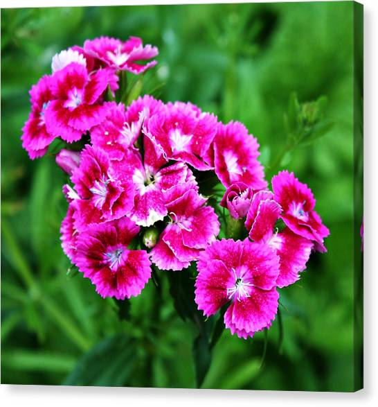 Pink Dianthus Canvas Print by Cathie Tyler