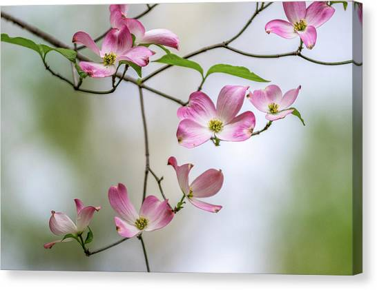 Ohio University Canvas Print - Pink Dogwoods In Bloom by Robert Powell