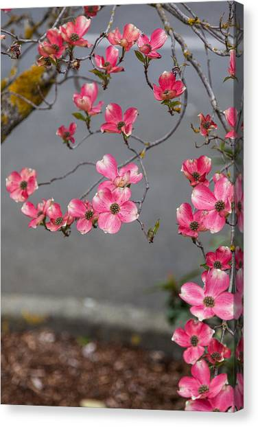 Pink Dogwoods Canvas Print