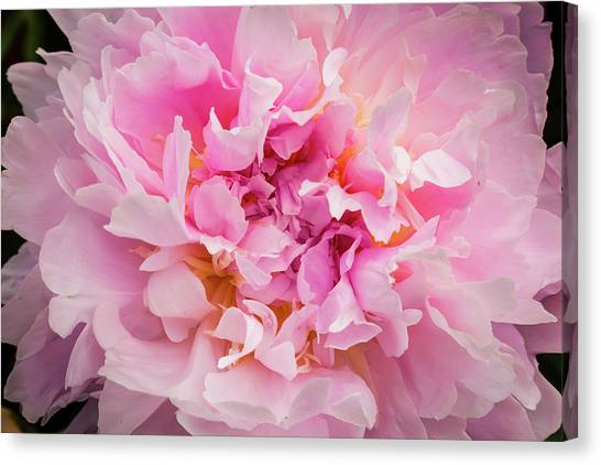 Pink Double Peony Canvas Print