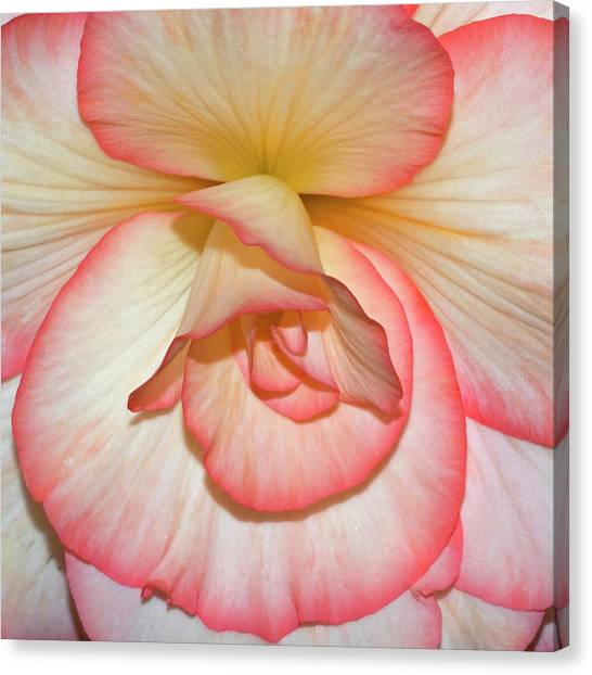 Pink-edged Begonia Canvas Print