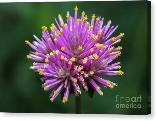 Canvas Print featuring the photograph Pink Fireworks Flower by Michael Moriarty
