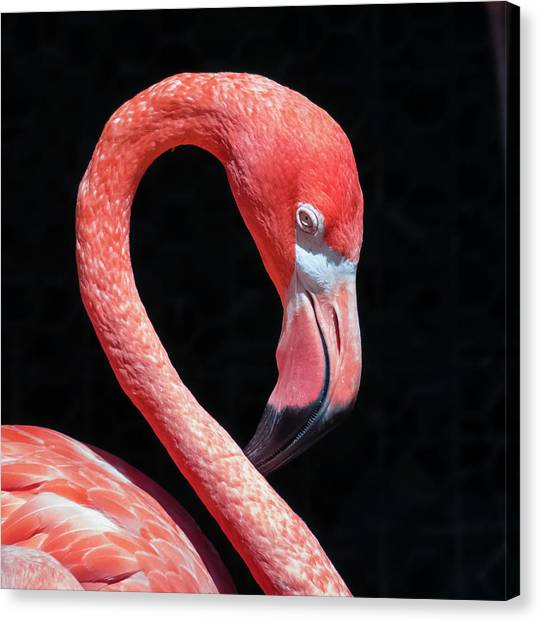 Canvas Print featuring the photograph Pink Flamingo by Robert Bellomy