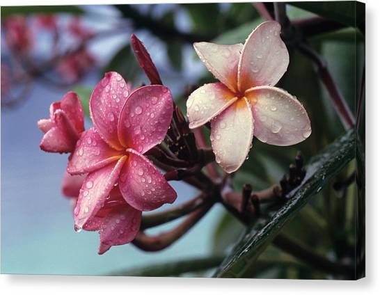 Pink Frangipani Flower And Raindrops Canvas Print