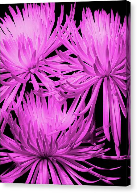 Spiders Canvas Print - Pink Fuji Spider Mums by Tom Mc Nemar
