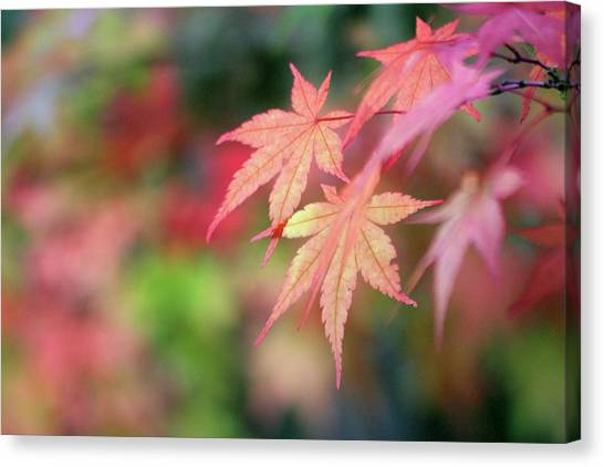 Pink Glow Maple Canvas Print