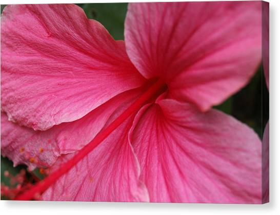 Pink Hibiscus Canvas Print by Kathy Schumann