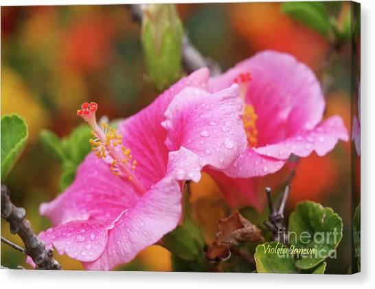 Violeta Canvas Print - Pink Hibiscus  by Violeta Ianeva