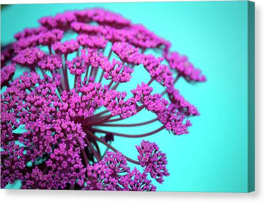 Pink Lace 02 Canvas Print