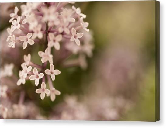 Pink Lilacs Canvas Print by Liz Howerton