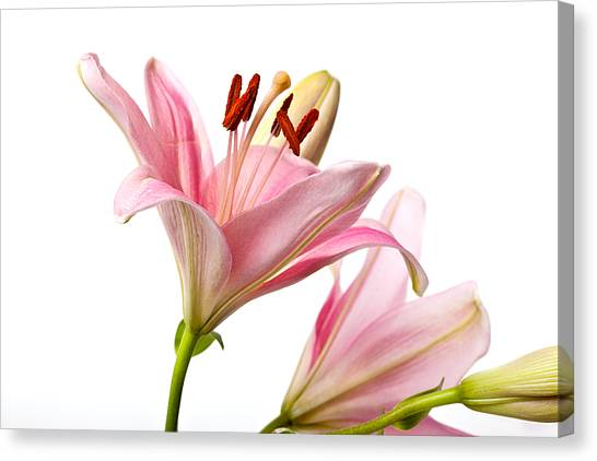 Flower Canvas Print - Pink Lilies 03 by Nailia Schwarz