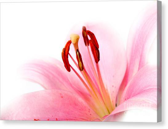 Flower Canvas Print - Pink Lilies 08 by Nailia Schwarz