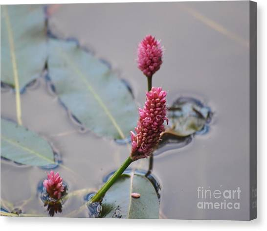 Pink Lily Pad Canvas Print