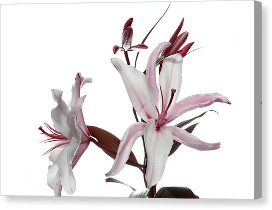 Pink Lily Canvas Print by Peter Dorrell