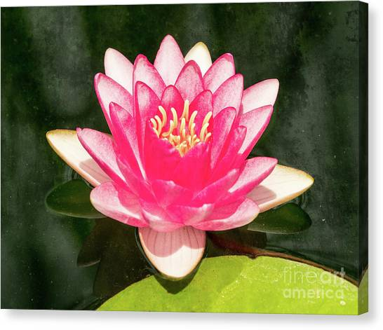 Pink Lily Canvas Print
