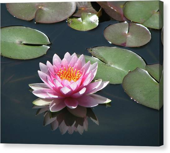 Pink Lily With Reflection Canvas Print