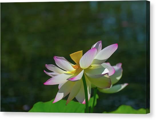 Pink Lotus Embracing The Sun Canvas Print